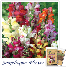 Snapdragon seeds Seasons easy to plant flowers patio balcony indoor potted plants 100(China)