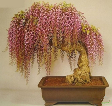 Free shipping, wisteria seeds 10 Seeds/pack rare gold mini bonsai wisteria tree seeds Indoor ornamental plants
