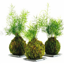 200 PCS Irish Moss Seeds Sagina Subulata Seeds Bonsai Moss Decorative Grass Seeds, Potted plant for DIY Home&Garden AAAA