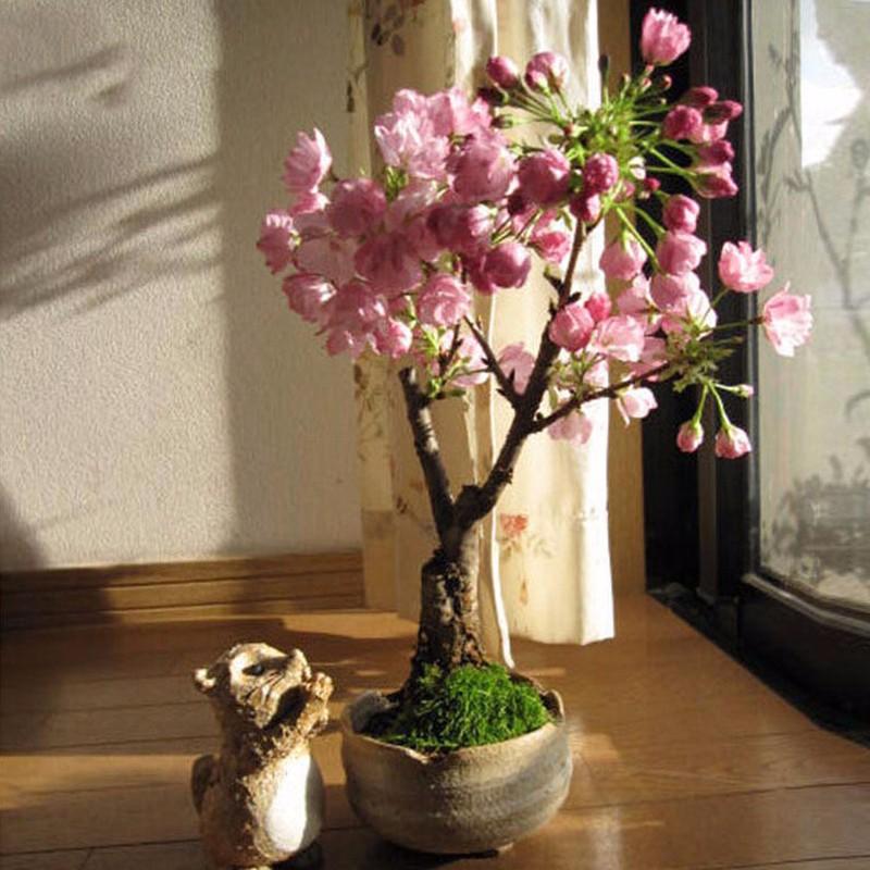 Условия для выращивания сакуры 527