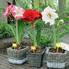 Amaryllis Seeds, Free Shipping Cheap Amaryllis Seeds, Barbados Lily Potted Seed, Bonsai Balcony Flower - 100 Pcs/bag