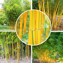 Fargesia fungosa bamboo seeds hardy clumping type garden decoration plant  50pcs  AA