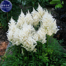 Rare Beautiful White Astilbe Chinensis Flowers, 50 Seeds, false spirea  light up your garden E3710