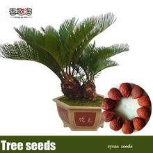 1 particles Cycads Seeds, Indoor Plants Bonsai Trees Seeds