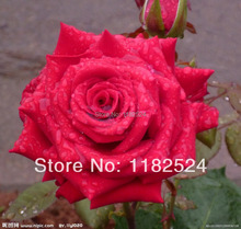 100 SEEDS - RED ROSE SEEDS - Bonsai Flower Plant Seeds