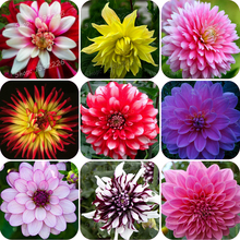 Real Dahlia bulbs, Dahlia flowers, (not Dahlia seeds), bonsai flower bulbs, symbol of courage and luck, house plant bulbs 2 gard