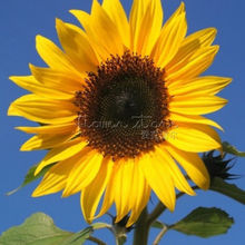 20 New Giant Sunflower seeds,,Greeting the sun!`easy to grow flower seeds