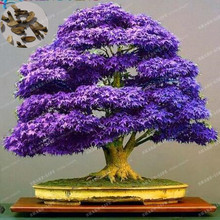 100% True Japanese Purple Maple Bonsai Tree Cheap Seeds,  20 Seeds / Pack, Very Beautiful Rare Bonsai Plants Tree Free Shipping