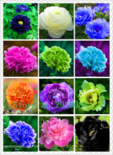 True Color Mixing Peony Bulbs Bulbous Root Home Garden Flowers Potted Perennial Flowers (Not Peony Seeds)Garden Plants-5 bulb