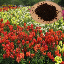 1000Pcs/Pack Common Snapdragon Flower Seeds Potted Plants Antirrhinum Perennial Flower Seed Home Garden