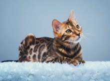 HD Printed Modern Decor Art Wall oil Paintings Bengal Cat Laying On White Carpet Looking Picture on the Canvas Home decoration