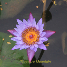1 Professional Pack, 1 seed / pack, Purple Nymphaea Caerulea China Water Lily Pad Flower Pond Seeds  #NF170