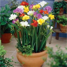 100seeds Potted Flowers Freesia seeds Balcony Bonsai Plant For Garden & Home Four Seasons planting Easy to grow(China)