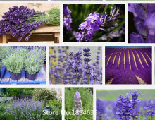 Garden Plant 500pcs/bag lavender seeds flower seeds China Air mail free shipping Bonsai Seed
