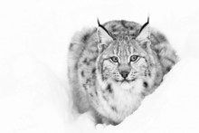 Living Room animal snow Lynx cat white black hair Silk Fabric Canvas Poster Print DW145(China)