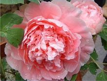 """Big Rare Blooming Bai jiao"" flowers Peony roses tree seeds, seed, professional, 5 package Peony garden"