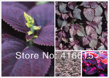 100 PURPLE CLOVE BASIL SEEDS * OCIMUM BASILICUM HERBS * HAVE A LOVELY CLOVE / MINT SCENT & IS PERFECT FOR COOKING, BAKING, TEAS