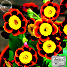 Heirloom Liesl Tri-color Rare Petunia Annual Flower, 200 Seeds, red yellow black colors flowers TS213T