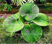 10pcs / bag fan-shaped palm seed perennial plant exotic plant bonsai flower tropical garden decorative flower evergreen plant(China)