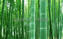 30 seeds  MOSO BAMBOO HUGE MAO BAMBOO- Seeds - Phyllostachys pubescens / edulis - Moso Hardy Bamboo