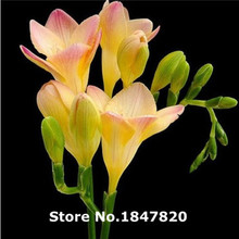 GGG 110 pieces freesia seeds 24 kinds Beautiful Rare Flowers 100%genuine Free Shipping(China)
