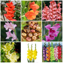 MIXED 1 bulbs true gladiolus bulbs, beautiful gladiolus flower,(not gladiolus seed) Fragrant Non-GMO Heirloom(China)