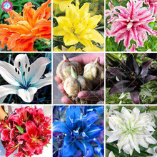 Buy 2pcs Double Lily bulbs Rare Flower Seeds Perfume Lily Bonsai Perennial Indoor Potted Flowering Plants Decorated home garden for $1.94 in AliExpress store