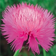 Pink Colour Centaurea Cyanus Seeds Potted Flowers Cornflower Seed DIY Home Garden 40 Particles / lot g68