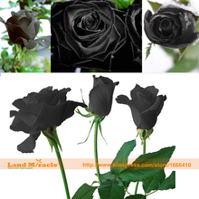 200 Seeds/Pack, China Rare Black Rose Flower Lover DIY Plants Home Garden Rare Black Rose Flower Seeds-Land Miracle