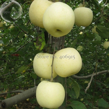 High yield Big White Sweet Apple, 10 Seeds, tasty crisp organic apple tree E3964