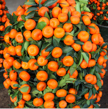 100PCS Climbing Orange Seeds Mini Potted Edible Fruit Seeds Bonsai China Top Quality Climbing Orange Tree Seeds Climbing Plants