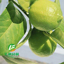 Cheap 100% pure perfume seedless lemon tree seed a compensable 10 seeds / pack(China)