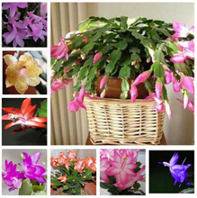 free ship  Zygocactus truncatus,Schlumbergera seeds,Indoor potted plants, green plants - 10 seeds seeds