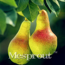 Sale!Beautiful Green Pear Seeds,Potted Organic Vegetable Fruit Pear Seeds for Home Garden 20PCS Green Fruit Bonsai(China)