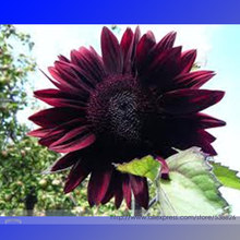 Moulin Rouge Gorgerous Red Ornamental Sunflower Seeds, Professional Pack, 15 Seeds / Pack, A Must Have for Any Sunflower Lover