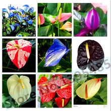 100% True Variety Rare Different Perennial Anthurium Flower Bonsai Seeds, Professional Pack, 20 Seeds / Pack, Hardy Plants E3243(China)