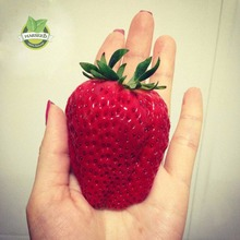1 Pack 150 Seeds Super Giant Strawberry Fruit Seed   perfume bonsai home & garden,home decor