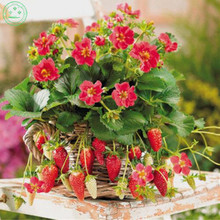 "Fruit seeds Local Farmer ""Toscana Strawberry 100 Seeds"" Very Sweet Cute Mini in Basket A064"