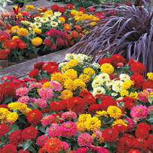 Dwarf zinnia flower seeds, zinnia mini 7colors mixed Bonsai potted flower seeds, Rare plant seeds for Home garden 50pcs/bag(China)