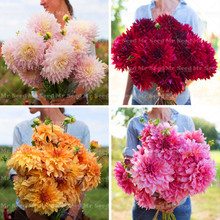 50PCS Giant Dahlia Flower Dahlia Seeds Charming Bonsai Flower Seeds  High Germination Home Garden Perennial Potted Plant