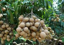 Fruit seeds 5pcs/bag Longan Seeds, Dimocarpus Dragon Eye Exotic Tropical Fruit Seeds Sweet(China)