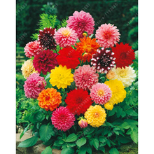 Rare Mixed Colors Dahlia Seeds Beautiful Perennial Flower Seeds Dahlia flower plant for DIY Home Garden 20 PCS/Bag(China)