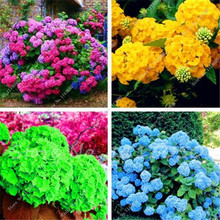 Hot 100 Pcs Rare Color Hydrangea Seeds Beautify the Environmen,11 colours Flower Seeds Bonsai,Natural Growth for Home Garden(China)