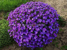 Promotion!!! 200pcs/lot Violet Queen Flower Seeds flower seed rose as gifts,Bonsai flower plant, DIY home & garden Free Shipping