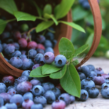 1 Lot 100 Highbush Blueberry Seeds Grow Your Own attractive impressive Fast growing(China)