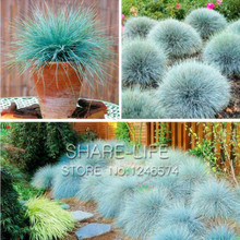 Blue Fescue Grass Seeds - (Festuca glauca) Perennial Hardy Ornamental Grass so Easy to Grow - 100pcs/lot(China)