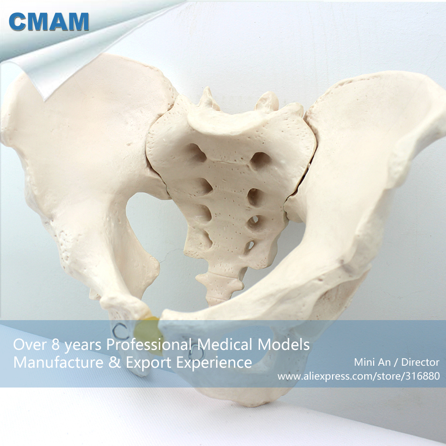 12339 CMAM-PELVIS02 Life Size Male Pelvic Skeleton Anatomical Model ,  Medical Science Educational Teaching Anatomical Models<br>