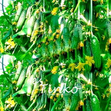 50pcs Mini Fruit Cucumber Seeds Green Cuke Seeds Vegetable Bonsai Cripsy Cucumber Home Garden Plant DIY Free Shipping(China)