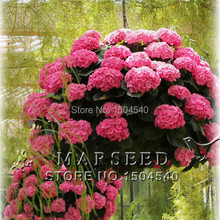 10 Pink Hydrangea Flower seeds,Fascinating color,easy-growing bonsai potted DIY home&garden