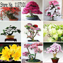100 Pcs/ bag 22 kinds Azalea Flower Seeds Rhododendron plant, Rare Bonsai DIY Garden Plants, Like Sakura Japanese Cherry Blooms